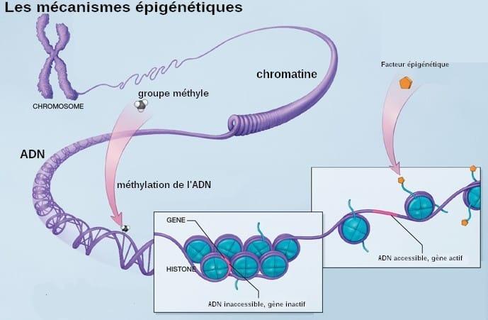 Mecanismes_epigenetiques- Santé d'Acier