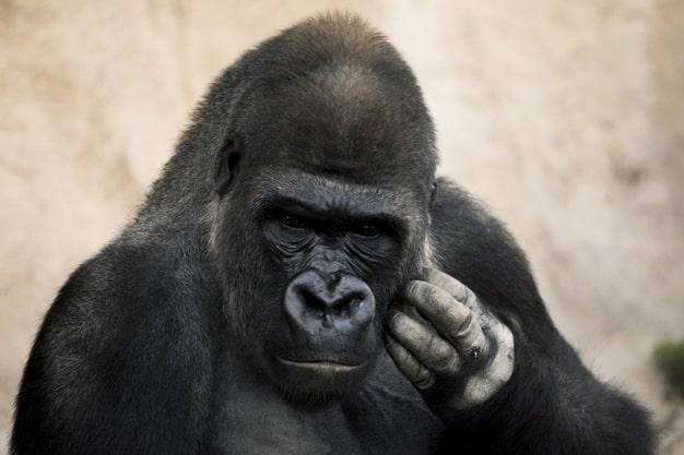 Pourquoi l'être humain n'est pas un gorille - sante dacier